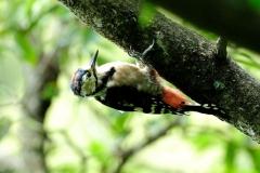 090906_089アカゲラ幼鳥