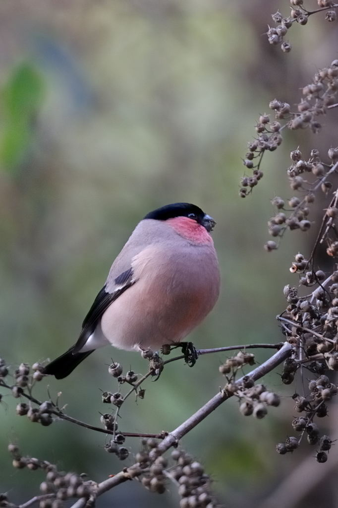 野鳥_0123ウソ
