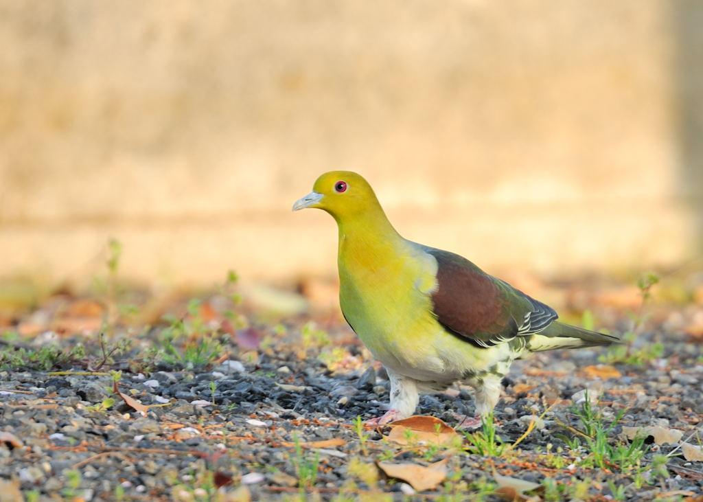 野鳥_146アオバト