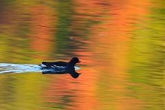野鳥_098バン