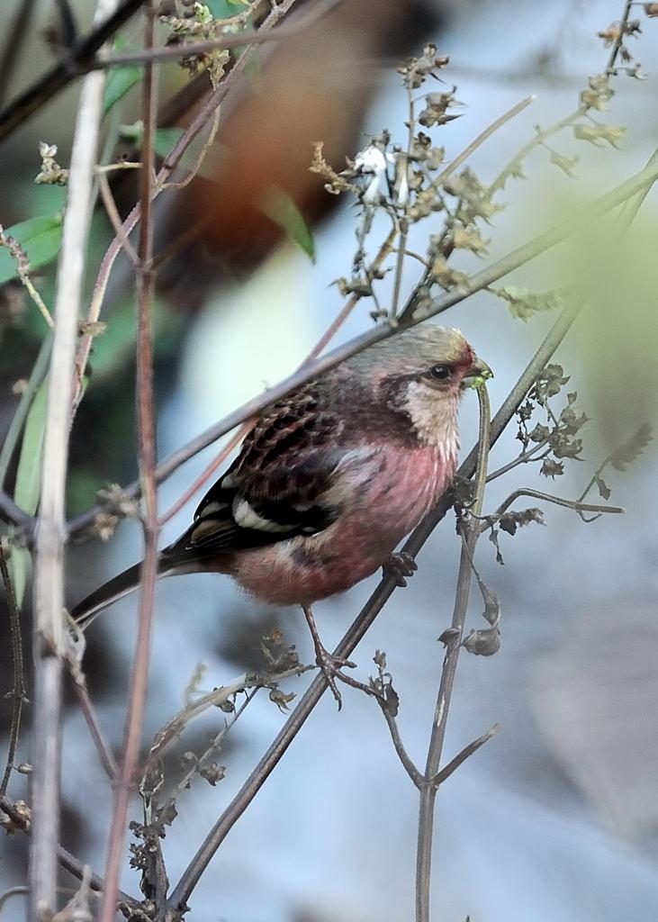 野鳥_102ベニマシコ