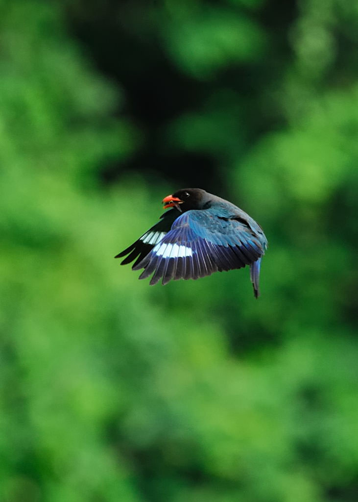 野鳥_226ブッポウソウ