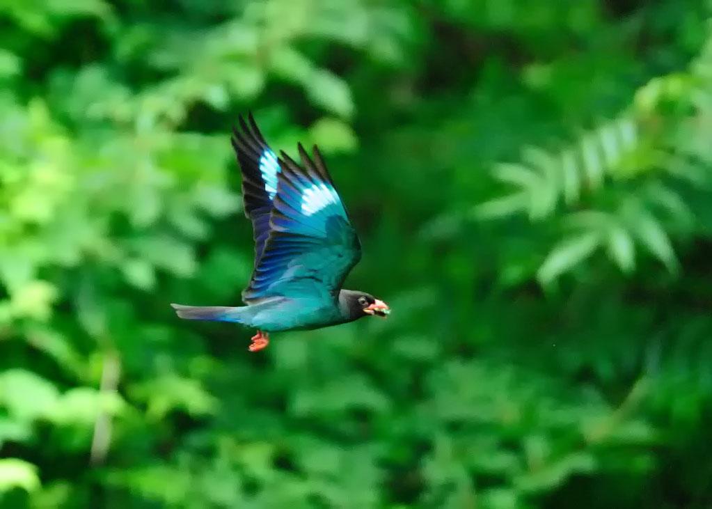 野鳥_246ブッポウソウ
