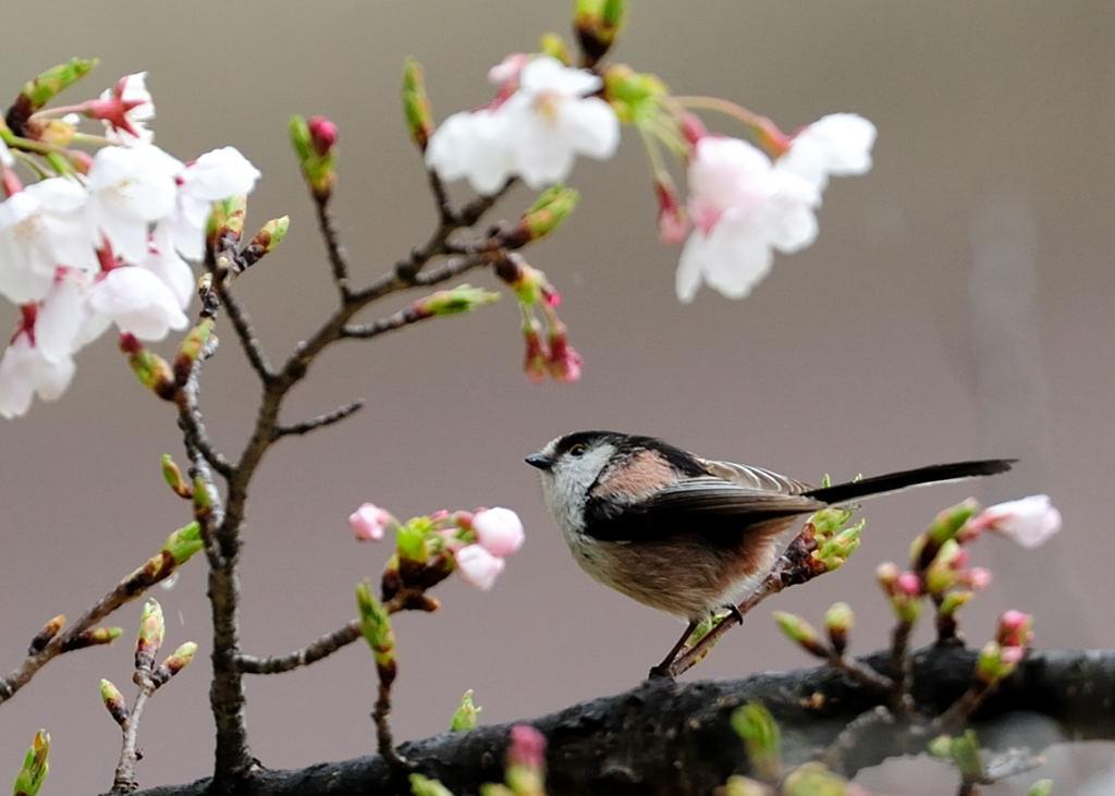 野鳥_144エナガ