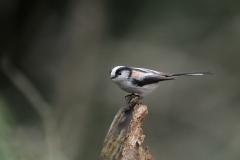 野鳥_028エナガ