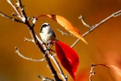 野鳥_099エナガ