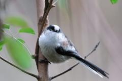 野鳥_105エナガ