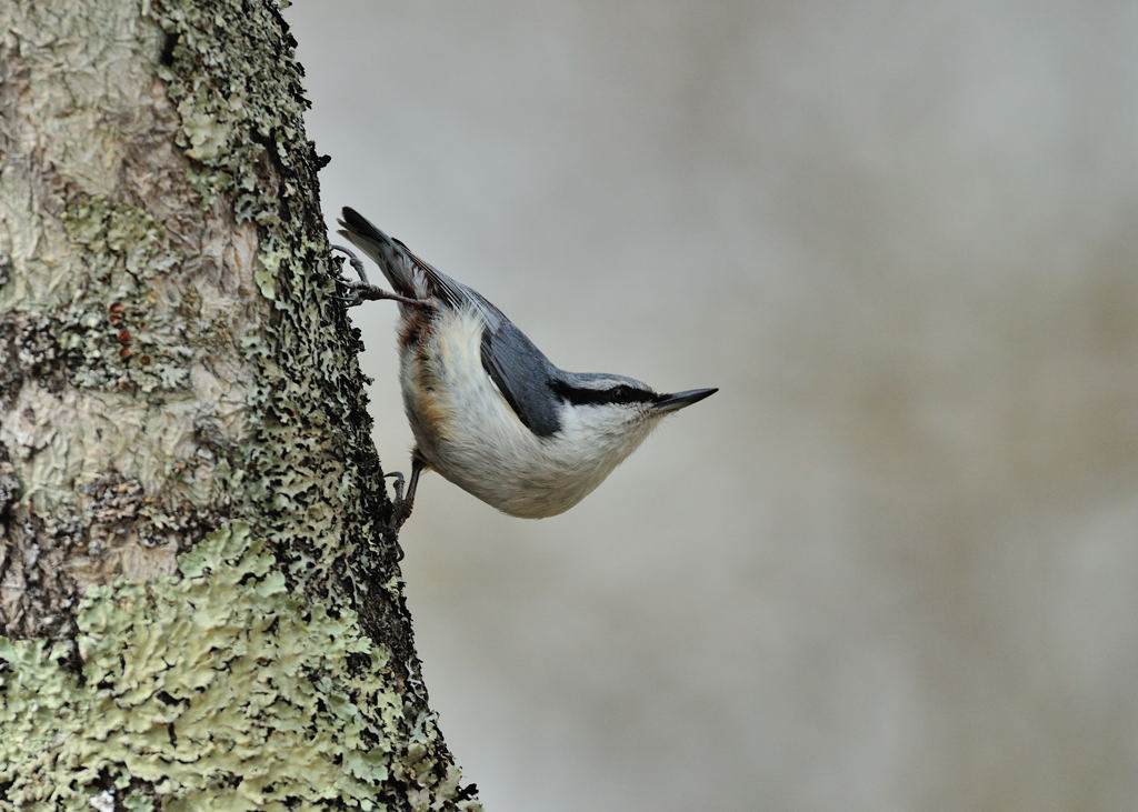 野鳥_157ゴジュウガラ
