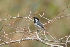 野鳥_162ヒガラ