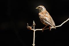 野鳥_085ホウジロ(幼鳥)