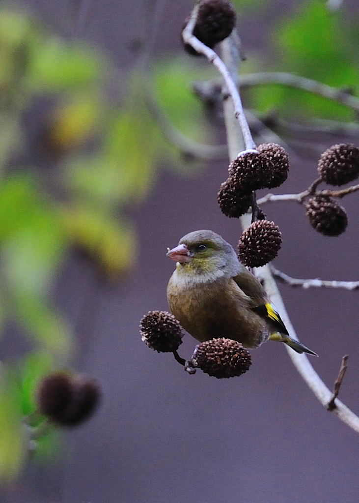 野鳥_111カワラヒワ