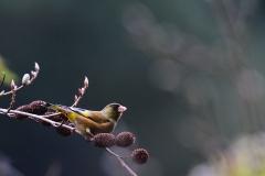 野鳥_107カワラヒワ