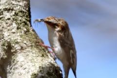 野鳥_054キバシリ