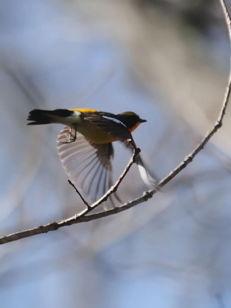 野鳥_050キビタキ