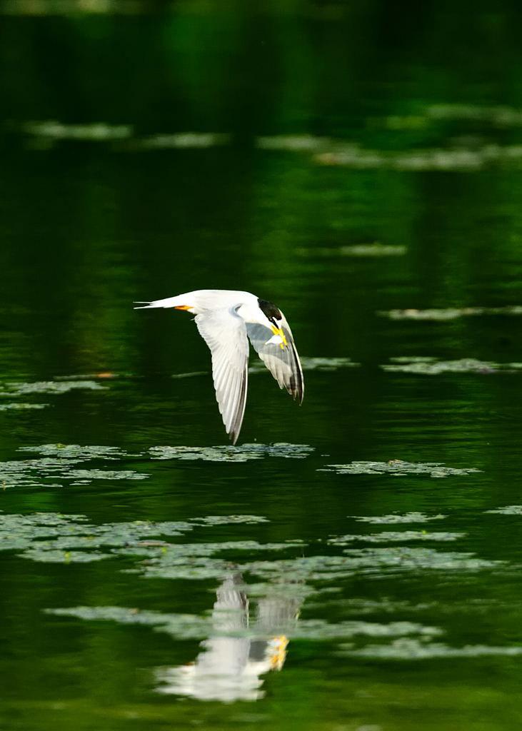 野鳥_177コアジサシ