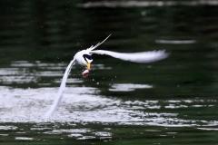 野鳥_176コアジサシ