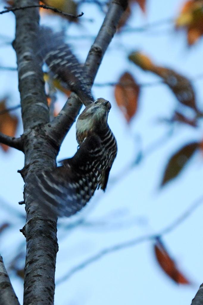 野鳥_015コゲラ