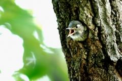 野鳥_007コゲラ