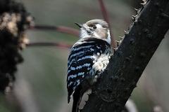 野鳥_103コゲラ