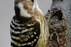野鳥_120コゲラ