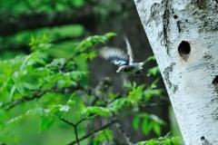 野鳥_189コムクドリ