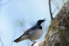 野鳥_048コルリ