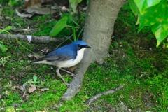 野鳥_166コルリ