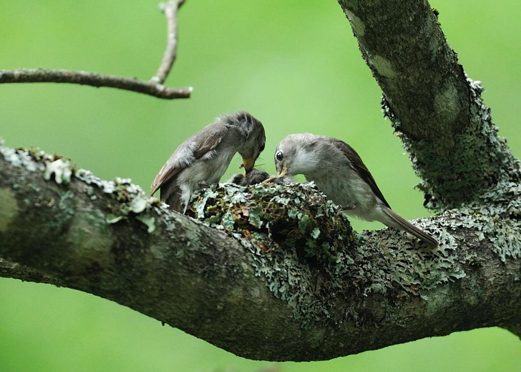 野鳥_187コサメビタキ