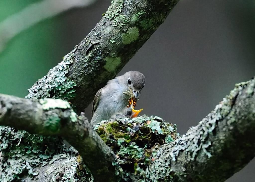 野鳥_188コサメビタキ