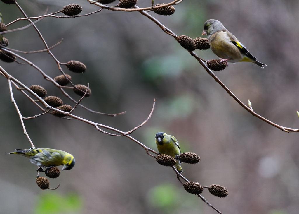 野鳥_115マヒワ&カワラヒワ