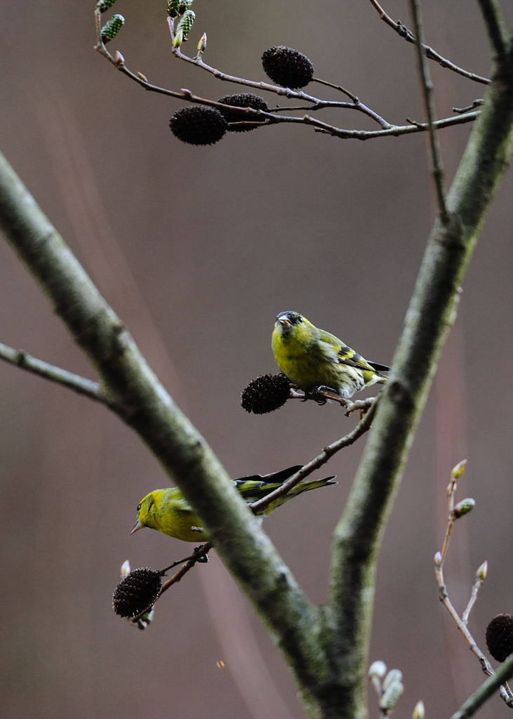 野鳥_124マヒワ