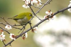 野鳥_011メジロ