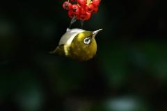 野鳥_032メジロ
