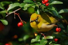 野鳥_033メジロ