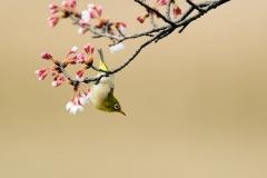 野鳥_139メジロ