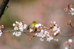 野鳥_141メジロ