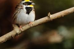 野鳥_126ミヤマホウジロ