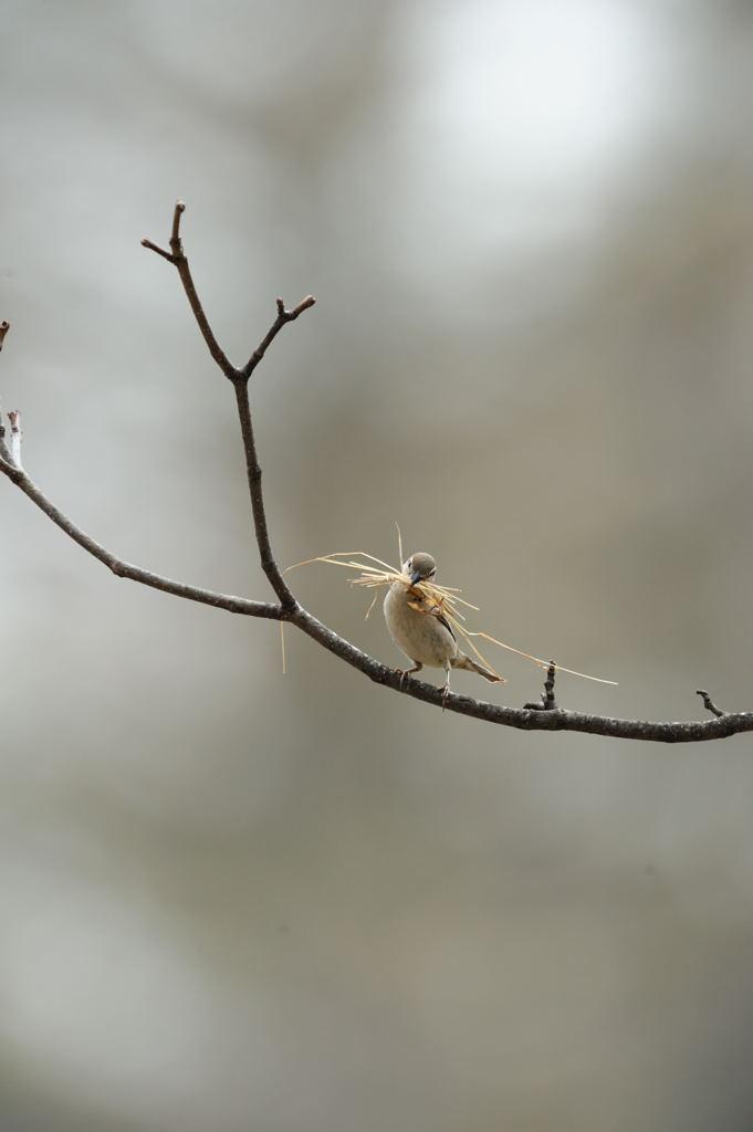 野鳥_151ニューナイスズメ♀