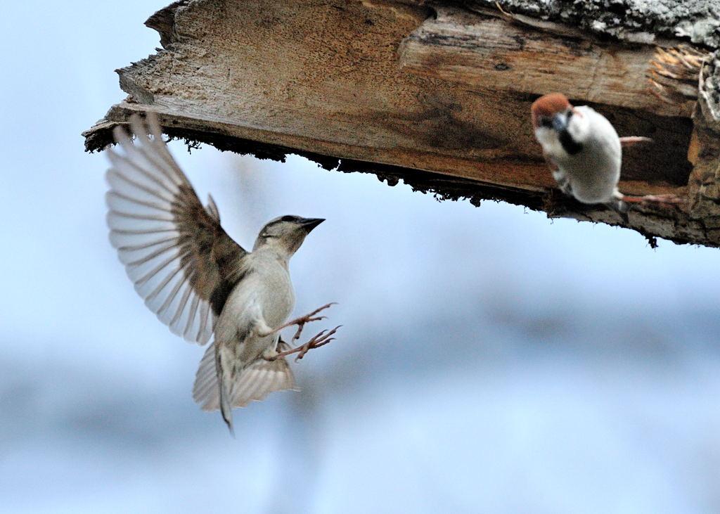 野鳥_153ニューナイスズメ