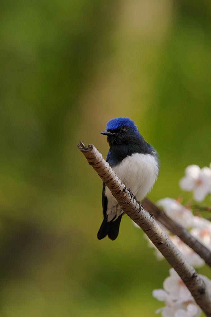 野鳥_042オオルリ