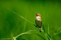 野鳥_005オオヨシキリ