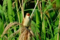 野鳥_173オオヨシキリ