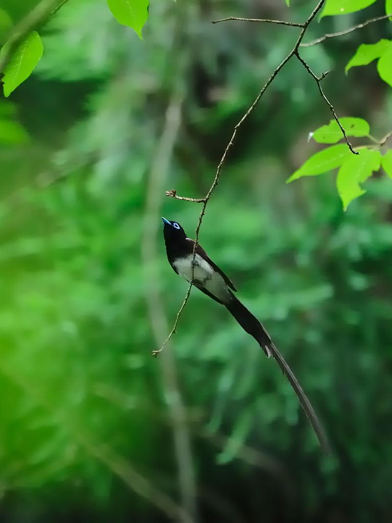 野鳥_080サンコウチョウ