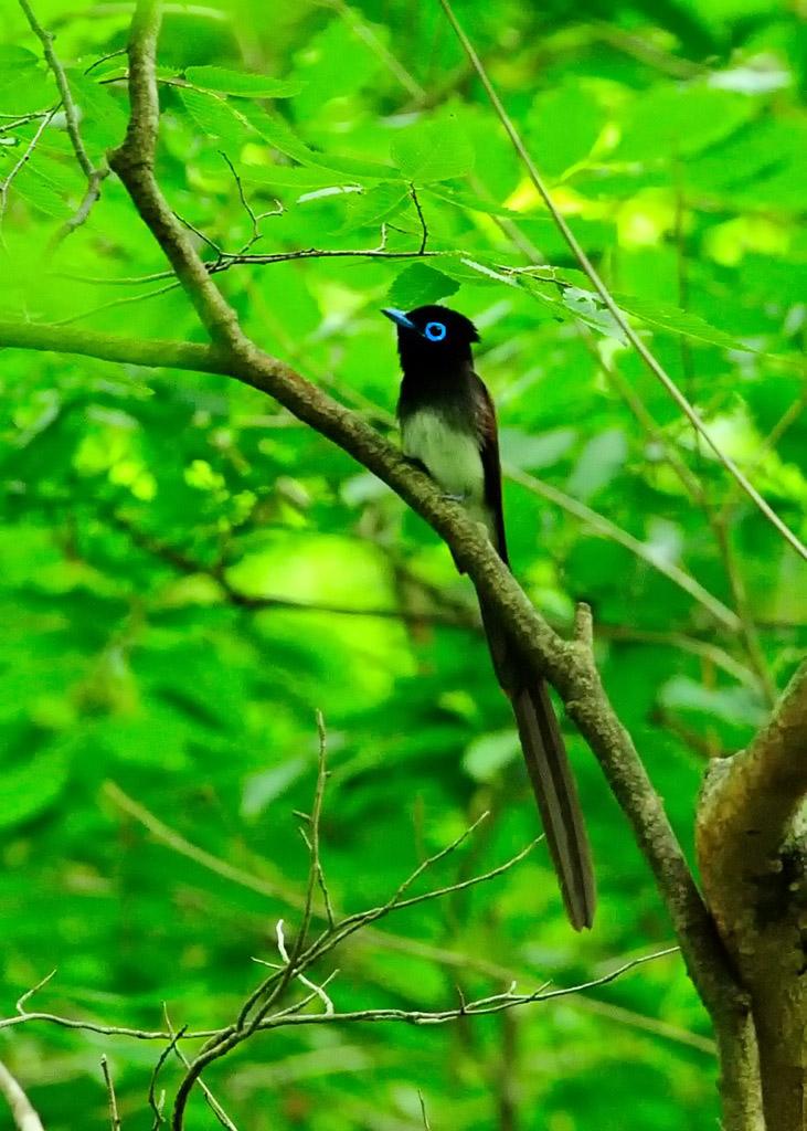 野鳥_179サンコウチョウ