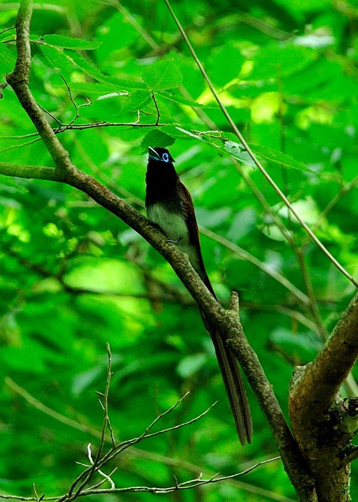 野鳥_181サンコウチョウ