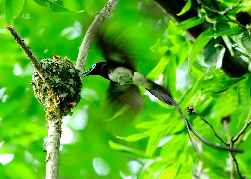 野鳥_194サンコウチョウ