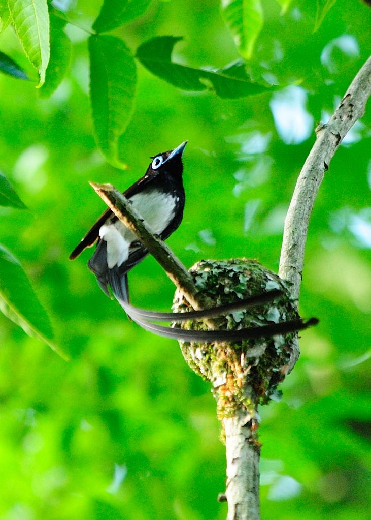 野鳥_195サンコウチョウ