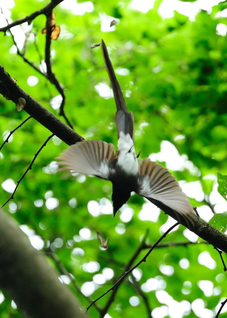 野鳥_204サンコウチョウ