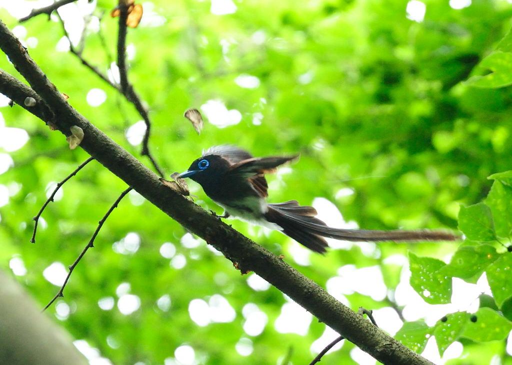野鳥_205サンコウチョウ