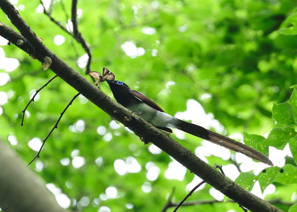 野鳥_206サンコウチョウ